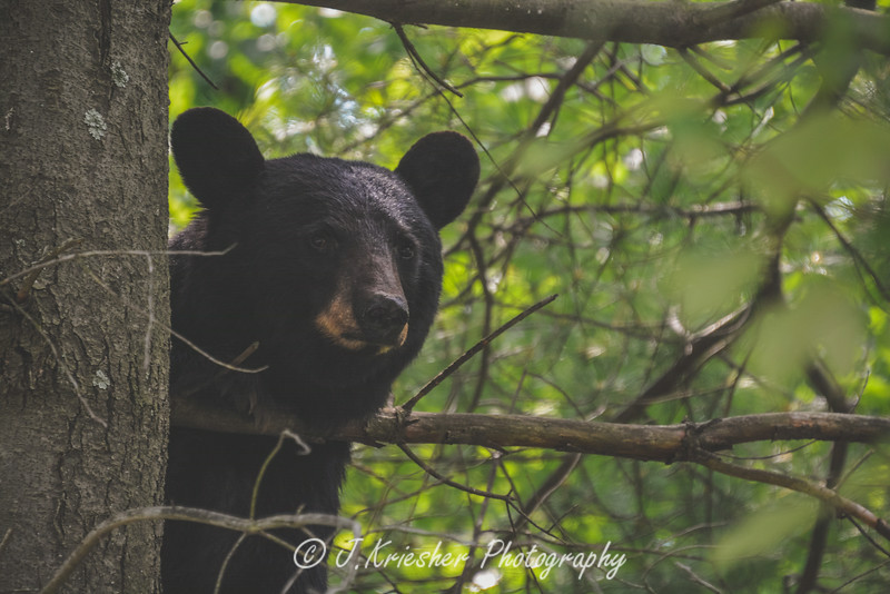 Bear in the tree - Sheppton, PA - 06/25/2014